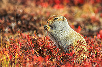 Arctic ground squirrel on autumn tundra, Denali National Park, Alaska