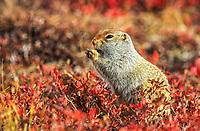 Arctic ground squirrel on autumn tundra, Denali National Park, Alaska