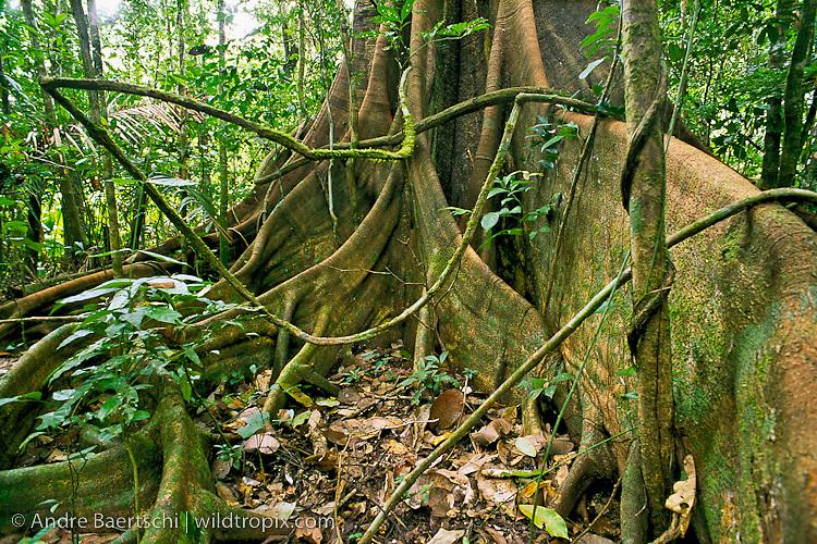 Buttressed base of emergent canopy tree (Brosimum alicastrum) in primary lowland tropical rainforest, Manu National Park, Madre de Dios, Peru.