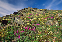 Wildflower meadow hillside, Gates of the Arctic National Park, Brooks Range, Alaska