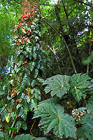 Begonia capanemae (bottom right) and climbing blooming Begonia radicans in Atlantic rainforest, Serra do Mar, São Paulo State, Brazil.