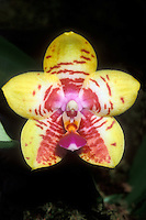 Phalaenopsis Orchid World