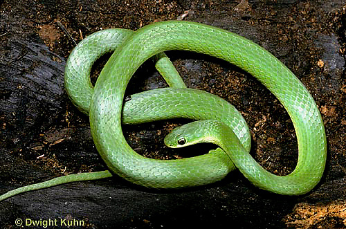 1R04-080a  Smooth Green Snake -  Opheodrys vernalis