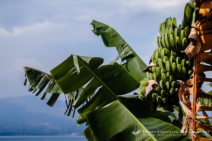 Indonesia, Sumatra. Samosir. Banana tree at Lake Toba.