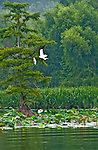 Egret in Flight Reel Foot lake near Tiptonville, TN. Reel Foot Lake