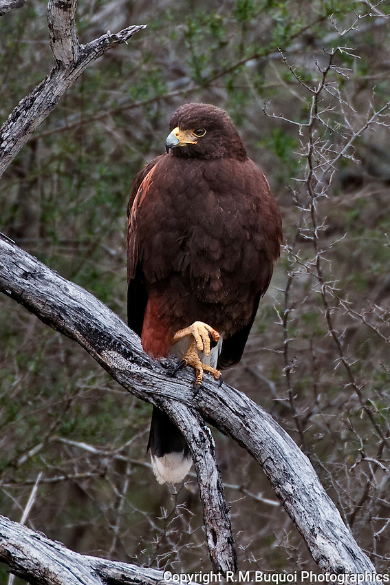 Harris's Hawk perched on limb