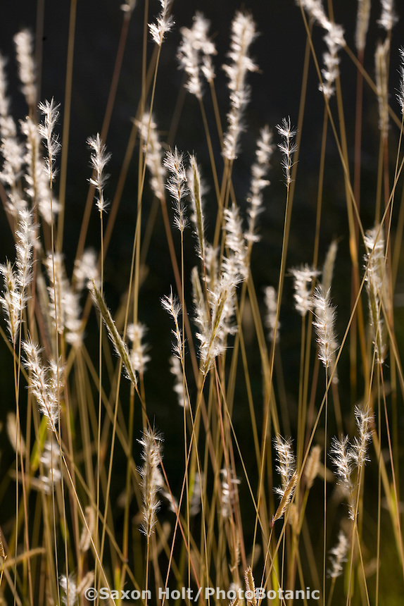 Seed head of New Mexico native grass, Andropogon hallii (Sand bluestem)
