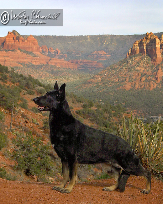 Black German Shepherd Dog in the desert mountains of Arizona Shopping cart has 3 Tabs:<br /> <br /> 1) Rights-Managed downloads for Commercial Use<br /> <br /> 2) Print sizes from wallet to 20x30<br /> <br /> 3) Merchandise items like T-shirts and refrigerator magnets