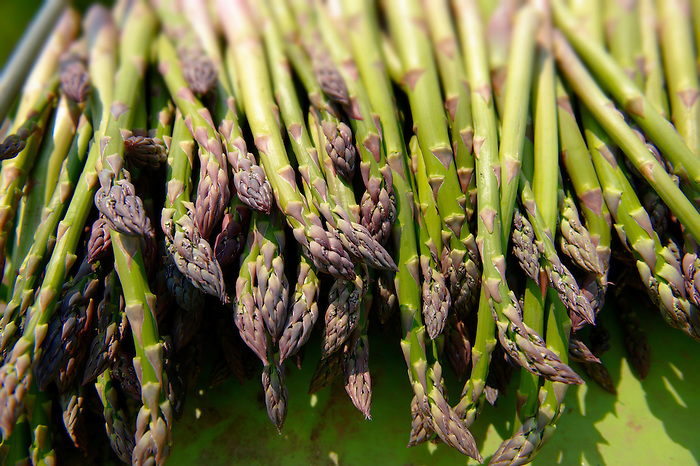 Stock photos of fresh English asparagus  in the fields. Funky stock photos images.