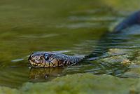 438950043 a wild adult texas indigo snake drymarchon corais erebennus swims and drinks in a small pond on dos venadas ranch starr county rio grande valley texas united states