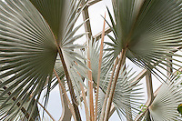 Bismark Palm (Bismarckia nobilis) fan shape foliage leaf in Tropical Conservatory at Denver Botanic Garden
