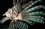 Lion Fish, Pterois volitans, stripy, poisonous fins, captive, venomous, Pacific Ocean.Indian ocean....