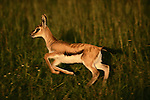 Thomson's gazelle, Kenya, Africa