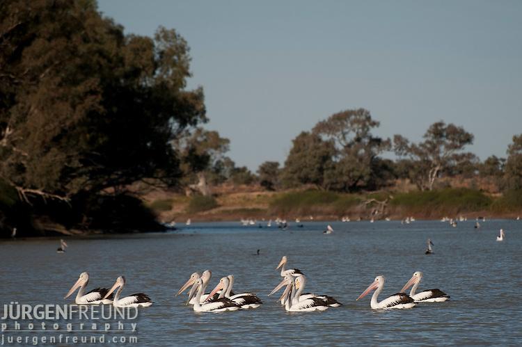 Australian pelicans(Pelecanus conspicillatus) feed in the hundreds along the Cooper Creek in Cullyamurra Waterhole