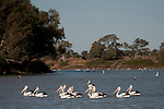 Australian pelicans(Pelecanus conspicillatus) feed in the hundreds along the Cooper Creek in Cullyamurra Waterhole