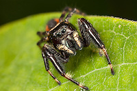 Jumping Spider (Phidippus clarus) - Male on a milkwood plant leaf, Ward Pound Ridge Reservation, Cross River, Westchester County, New York