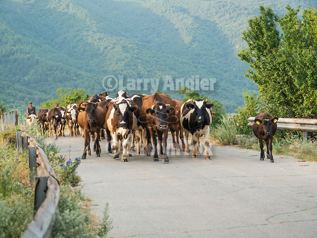Cattle herders crossing a bridge with their stock, Davovo, Bulgaria