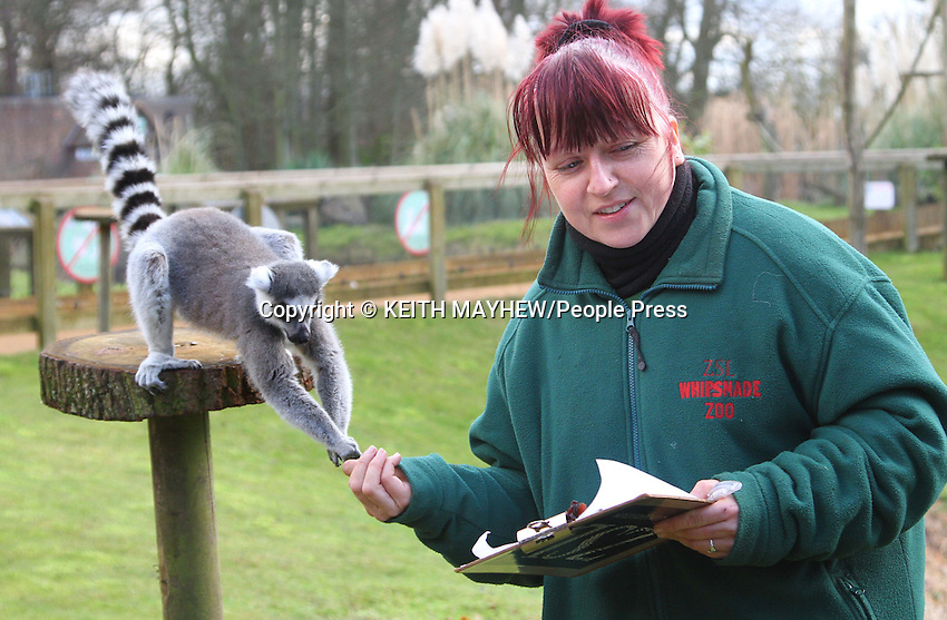 Annual Stocktake of all species at the UK's biggest Zoo, ZSL Whipsnade Zoo, Dunstable, Bedfordshire - January 10th 2012..Keeper Kathy with Ring Tailed Lemur..Photo by Keith Mayhew