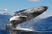 pu50730-D. Humpback Whale (Megaptera novaeangliae) breaching. Alaska, USA, Pacific Ocean..Photo Copyright © Brandon Cole. All rights reserved worldwide.  www.brandoncole.com..This photo is NOT free. It is NOT in the public domain. This photo is a Copyrighted Work, registered with the US Copyright Office. .Rights to reproduction of photograph granted only upon payment in full of agreed upon licensing fee. Any use of this photo prior to such payment is an infringement of copyright and punishable by fines up to  $150,000 USD...Brandon Cole.MARINE PHOTOGRAPHY.http://www.brandoncole.com.email: brandoncole@msn.com.4917 N. Boeing Rd..Spokane Valley, WA  99206  USA.tel: 509-535-3489