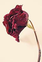 Dried up rose still life.