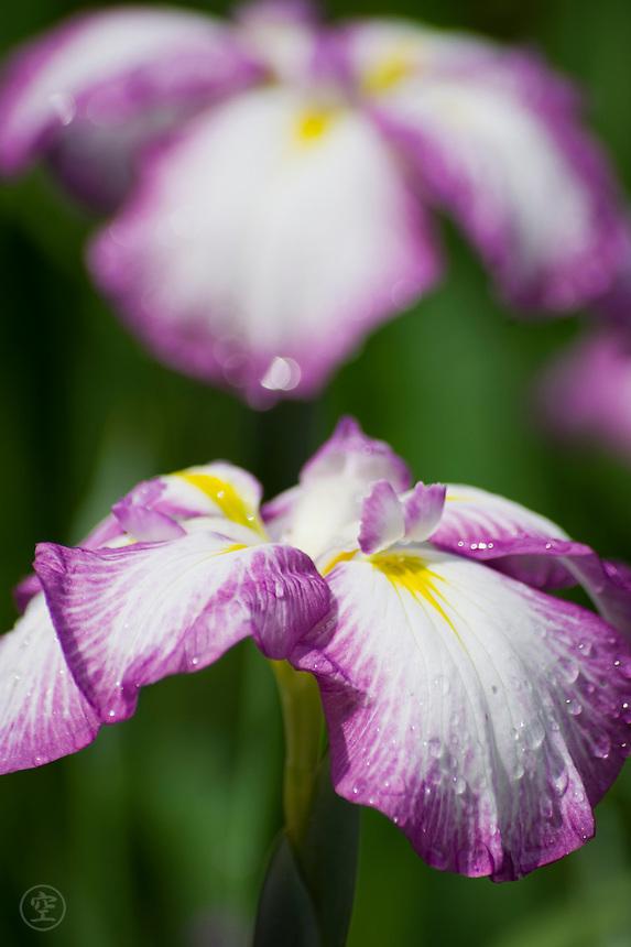 Japanese iris detail at the Meiji Jingu Gyoen.
