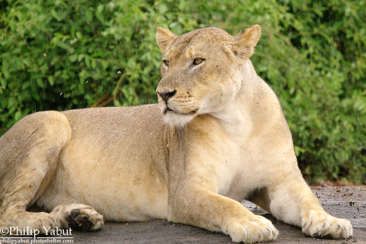 A lioness sits in the rain at Chobe National Park, Botswana.