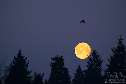 Black Crow and Full Moon, Bothell, Washington