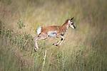 Running Pronghorn Antelope fawn in Montana