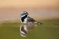 578670048 a wild black-throated sparrow amphispiza bilineata bathes in a small pond on santa clara ranch starr county texas united states