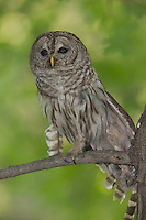 A Barred Owl (Strix varia) stretches a wing while roosting on the branch of a Maple tree, West Harrison, Westchester County, New York