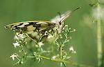 Marbled White butterfly (Melanargia galathea) soft green focus black white pattern.United Kingdom....