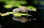 Mosquito (Culex pipiens) - laying eggs in pond, water reflection, female....