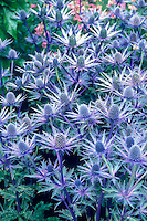 Sea Holly Eryngium Sapphire Blue spiky blue flowers