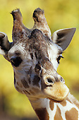 Reticulated Giraffe head (Giraffa camelopardalis reticulata), Kenya.