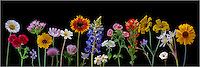 From bluebonnets to Indian Paintbrush, from thistle to coreopsis, this Texas Wildflower image contains many of our favorite wildflowers found in the Texas Hill Country. Each of these Texas wildflowers was photographed individually against a black backdrop, then added to the image. These Texas wildflowers come from the Spring of 2013.