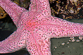 Pink Sea Star (Pisaster brevispinus), San Mateo County, California, USA