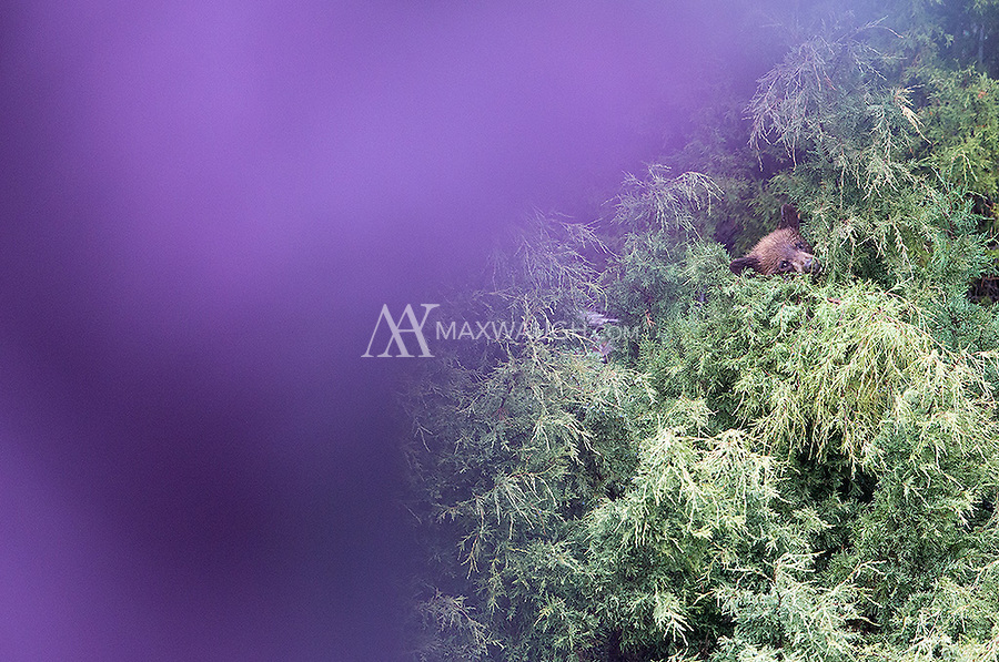 Here, someone walks in front of my lens while I was photographing a juvenile cinnamon black bear in a tree.
