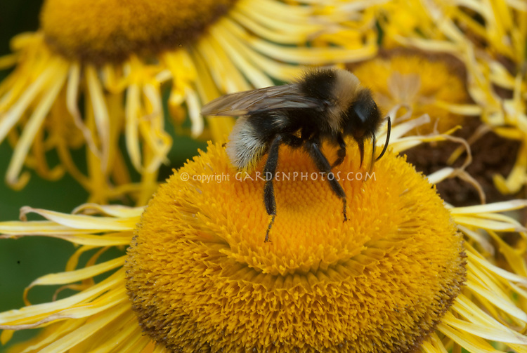 Bee on yellow flower of Telekia speciosa aka Buphthalmum salicifolium (Yellow Oxeye Daisy)