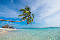 Maldives, Rangali Island. Conrad Hilton Resort. Palm tree over the ocean.