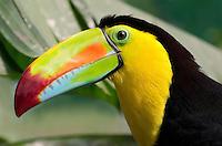 Rainbow-billed Toucan, Keel-billed Toucan (Ramphastos sulfuratus), female