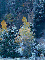 749450283 narrowleaf cottonwoods populus angustifolia in brilliant yellow fall color are draped with ta light dusting of snow from a late fall storm in grand tetons national park wyoming