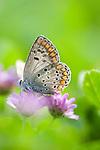 Brown Argus Butterfly, Arcia agestis, feeding on purple flower Lesvos Island, Greece , lesbos