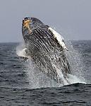A grey humpback breach near Farallones Island off the coast of San Francisco , Cailfornia.