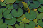 Lily pads at Woodland Park Rose Garden Seattle Washington USA