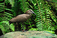 Hamerkop (Scopus umbretta), Masoala National Park, Madagascar