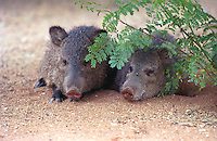 Javelina resting, seeking shelter from the desert heat; Sonoran Desert, Arizona