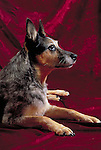 Australian Cattledog<br />