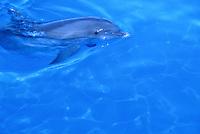 Atlantic bottlenose dolphin swimming in blue water