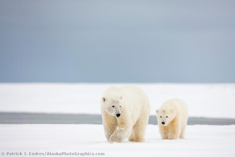 Polar bear sow and cub walk across snowy barrier island in the arctic, Alaska.