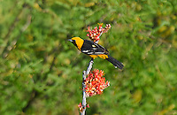 561880024 a wild male hooded oriole icterus cucullatus perches on a flowering ocotillo plant in florida canyon near madera canyon arizona united states